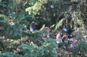 baby green heron's still tree bound